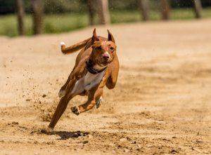 """animal 300x221 - Las carreras de perros son un """"deporte"""" cruel"""