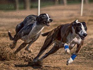 """carrera 300x226 - Las carreras de perros son un """"deporte"""" cruel"""