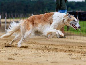 """carreras de perros deporte 300x227 - Las carreras de perros son un """"deporte"""" cruel"""