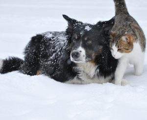 mascotas en la nieve 300x246 - ¿Por qué castrar a tu mascota?