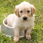 perrito 150x150 - Cosas a considerar antes de obtener una mascota