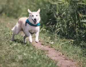perro corriendo 300x235 - ¡No compres animales, mejor adopta!
