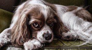 perro triste 300x163 - Cosas a considerar antes de obtener una mascota